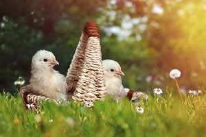 Cute newborn Chicks in a basket