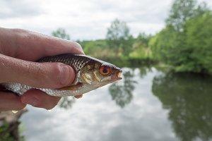 fish roach