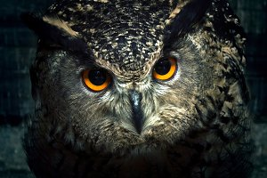 Owl eyes close up.