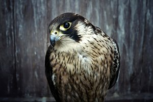 Peregrine falcon, Duck hawk close up
