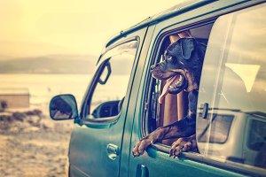 A rottweiler in a van