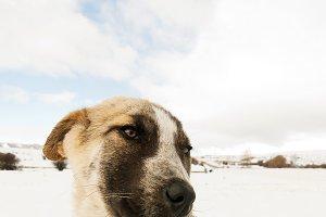 dog mastiff puppy offer 8x