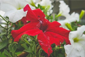 Red flower is a great beauty