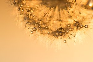 Dandelion with golden drops