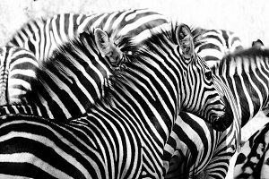 Zebra Herd Illusion