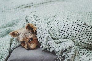 Sleepy Puppy Under a Blanket