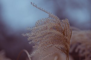 Dry feathery reed