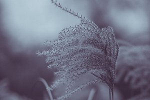 Dry reed in winter