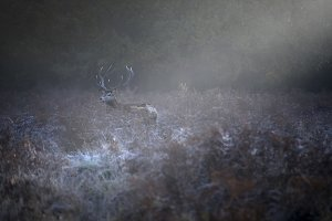 Reed deer in a frosty morning