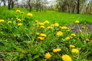 Bunch of yellow dandelions