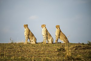 Three Cheetah - Sitting like statues