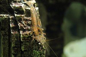 Beautiful aquarium shrimp