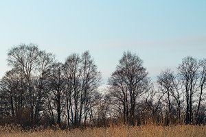 Bare trees and dry reeds