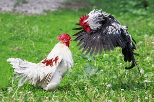 two perky cocks staged a fight