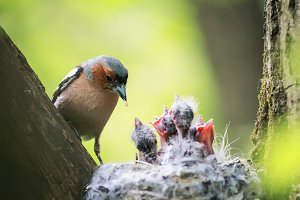 the Finch bird feeds its Chicks in t
