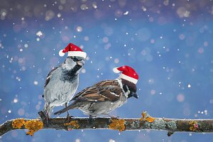 two funny birds in Christmas hats