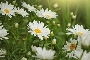 Beautiful white camomiles or daisies