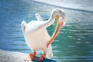a white shy pelican