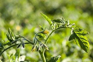new plant tomato