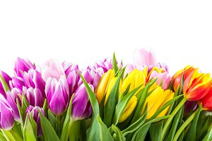 Еulip flowers isolated