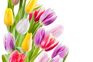 Tulips flower isolated