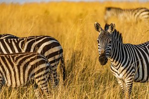 Zebra in afternoon's golden light