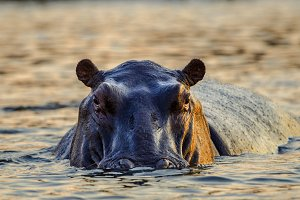 Hippo swimming in the afternoon