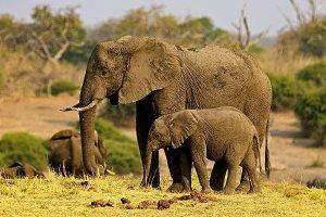 Elephants after a mud bath