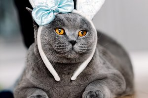 Grey cat with cute bunny-like headba
