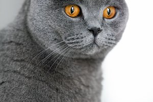 Grey british shorthair cat staring i
