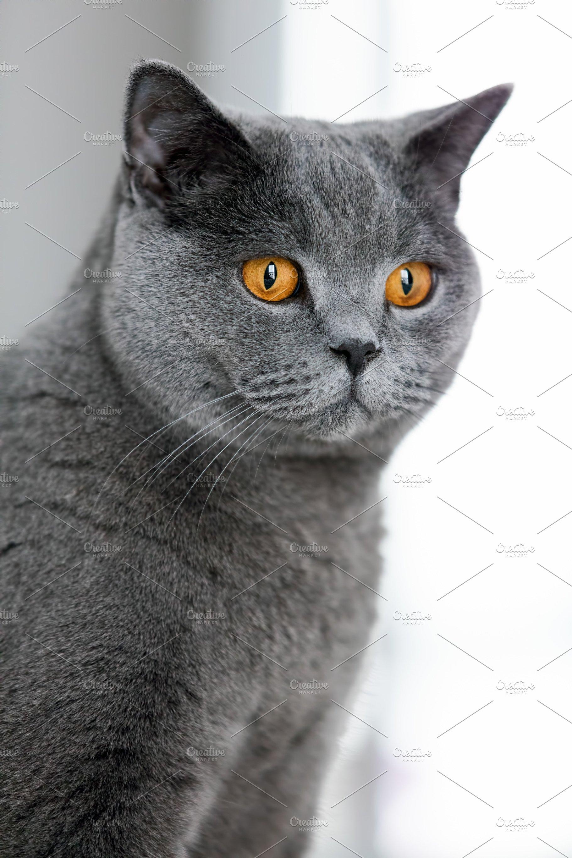 Grey British Shorthair Cat Staring I High Quality Animal Stock