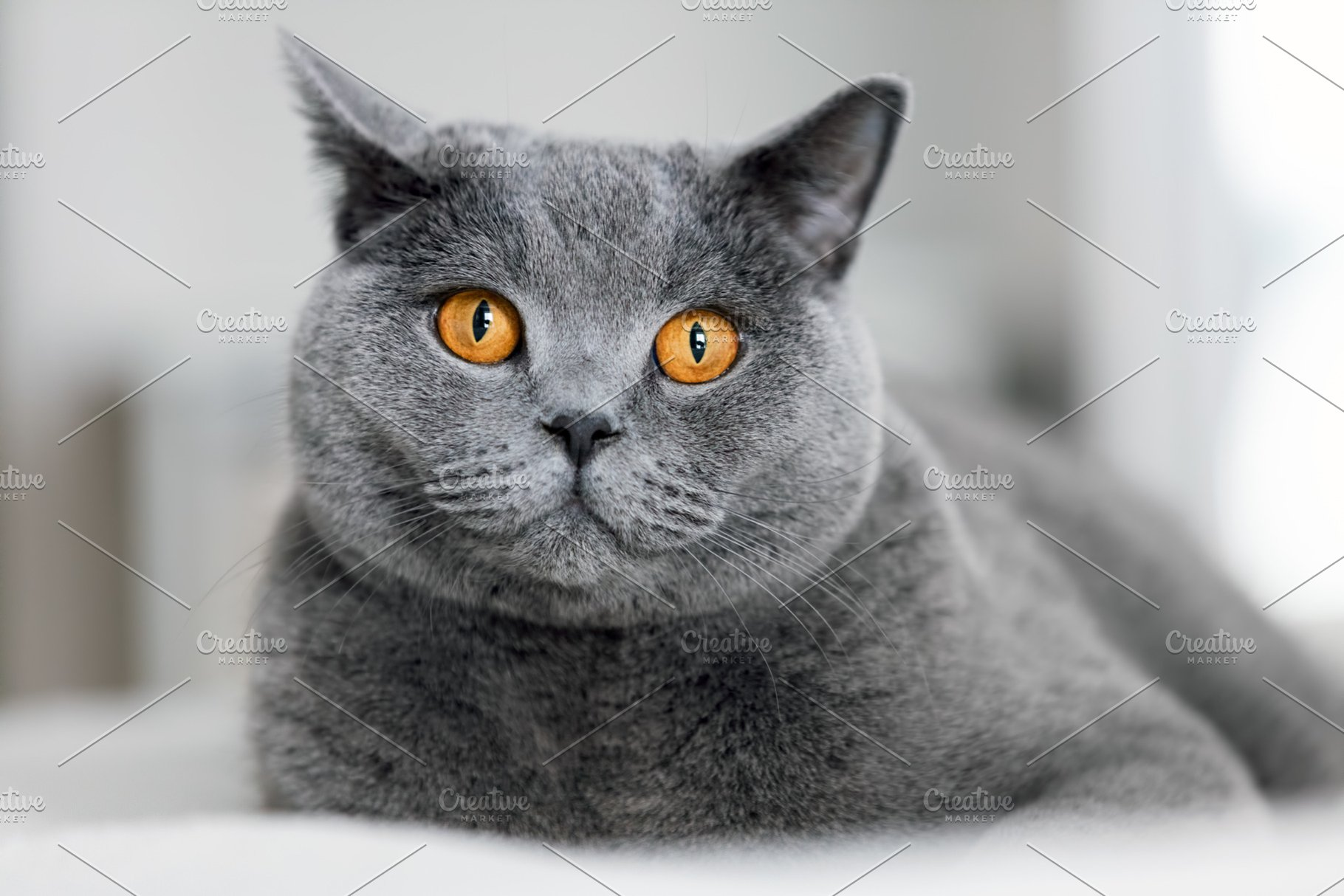 Cute Grey Cat Laying On The Sofa High Quality Animal Stock