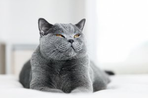 Sweet grey cat laying with eyes clos