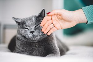 British shorthair cat stroked by a w