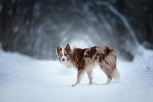 Border collie on snow background