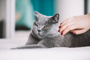 Woman petting a fluffy grey cat on t