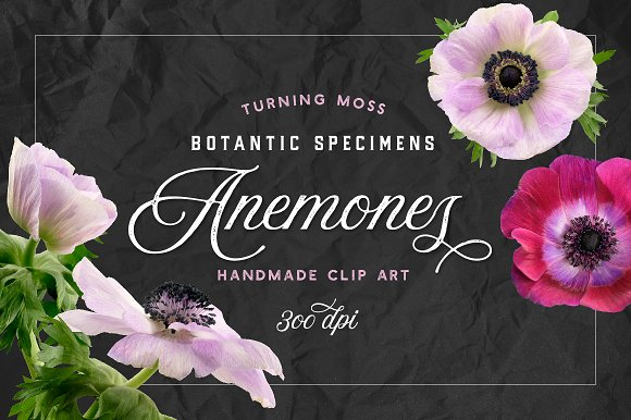 Anemone Flower ClipArt - Specimens