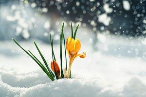 spring card snowdrops
