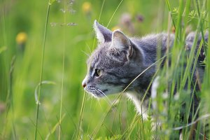 cat hunting in the grass