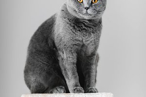 Majestic grey purebred cat sitting o