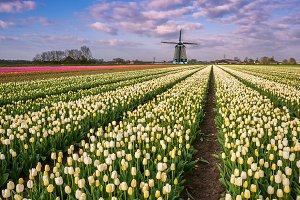 Spring tulip flowers and windmill