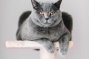 Majestic grey cat laying on the top