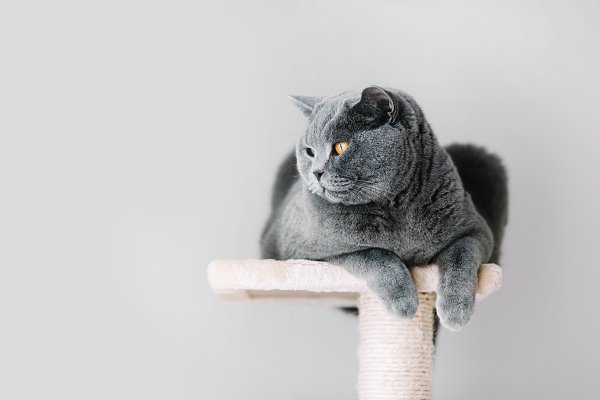 Grey furry cat laying on the top of…