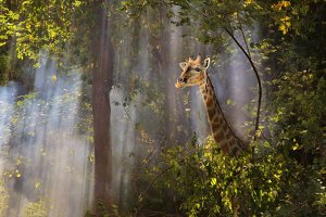 Mystic Giraffe Fog - Nature Wonder