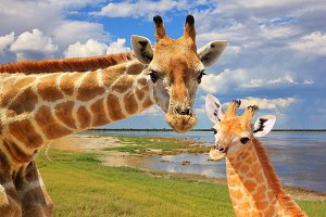 Giraffe Love - Natural African Icon