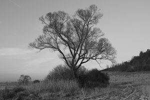 Monochrome lonely tree