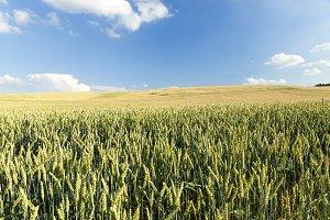 green unripe cereal