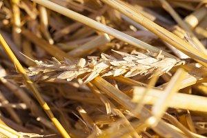 harvesting cereals
