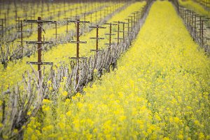 Mustard among the vines