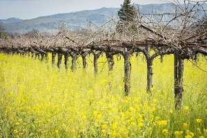 Vineyard in Springtime